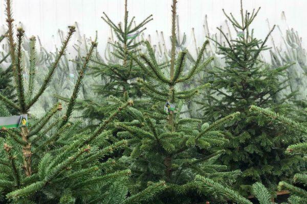 Kerstbomen Groothandel Nederland